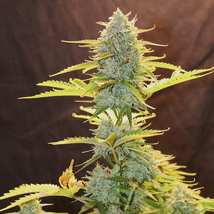 Royal Queen Seeds Fat Banana Automatic