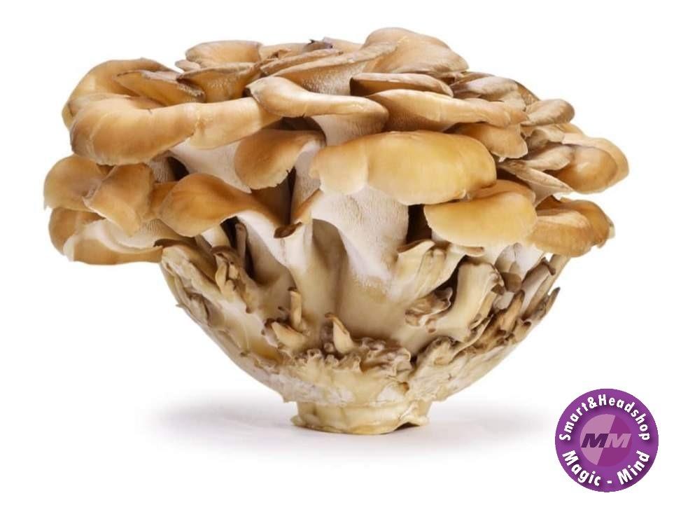Mushrooms4Life Mushroom 4 Life Organic Maitake – Bio – 60 Ca