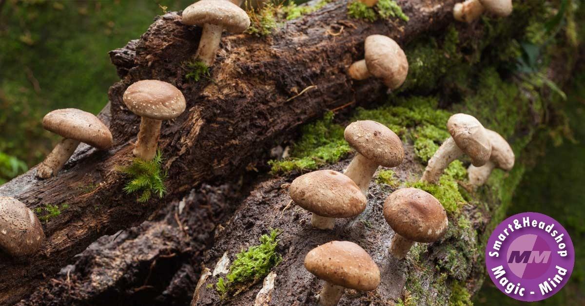 Mushrooms4Life Mushroom 4 Life Organic Shiitake – Bio – 60 Caps