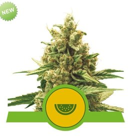 Royal Queen Seeds Watermelon Automatic
