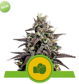 Royal Queen Seeds Purple Punch Automatic