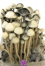 Growekit Copelandia Hawaiian Mushroom growkit - 1200cc