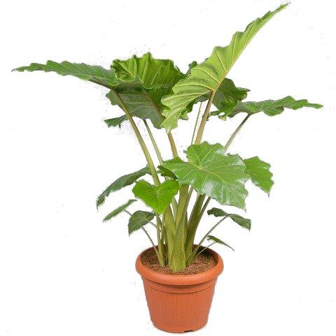 Alocasia Portadora hoogte 145 cm