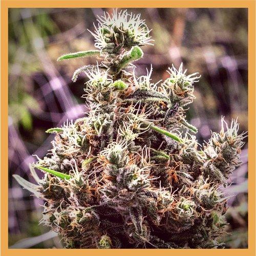 Plant of Life CBD Flower Cannatonic 3g