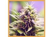 CBD Flower CBD Haze 3g