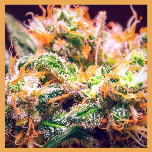 Plant of Life CBD Flower Orange Bud 3g