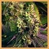 CBD Flower Silver Bud 1.5g
