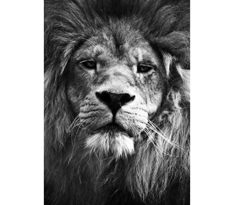 Lion 50x70