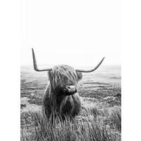 Schotse Hooglander 50x70