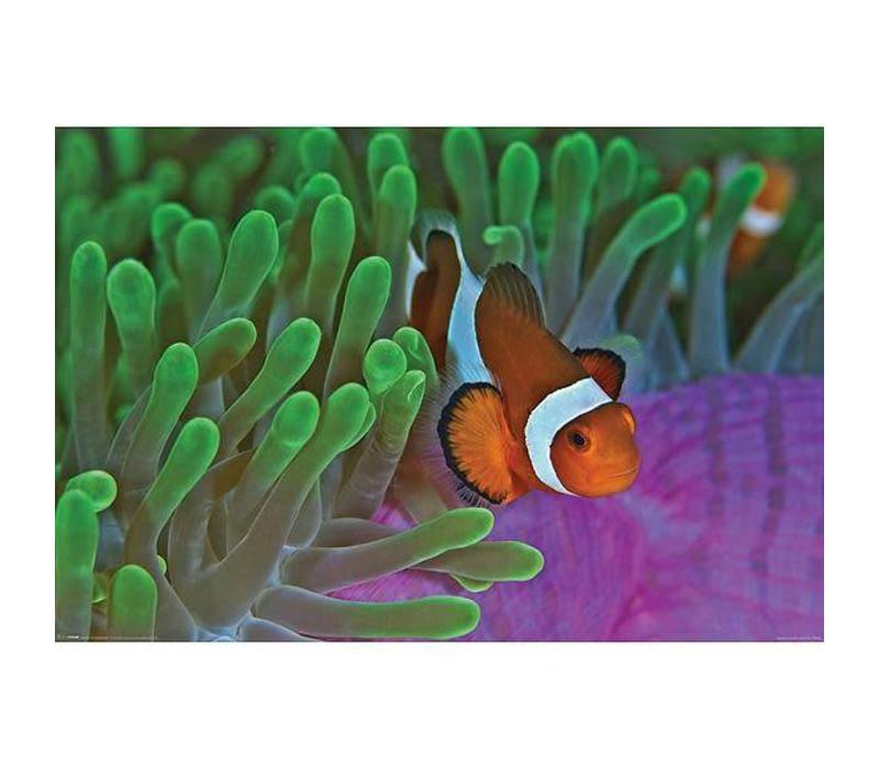 Clownfish en Anemones