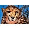 Jan Bloom Photography Cheetah 1