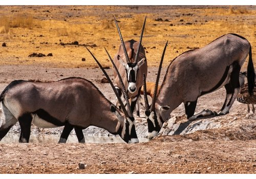 Jan Bloom Photography Oryx