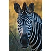 Jan Bloom Photography Zebra 1