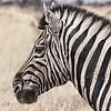Zebra close up