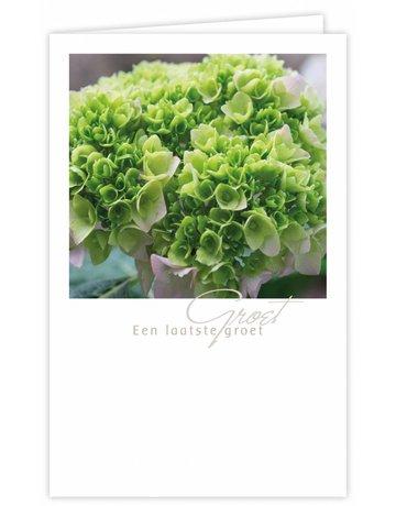 Hortensia Groot Formaat 12 St.