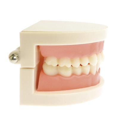 Gebits- demonstratiemodel small ( incl. kleine tandenborstel)