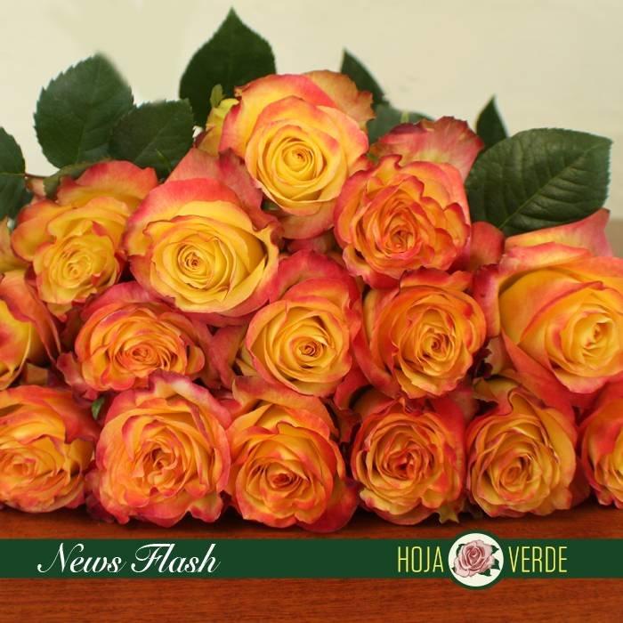 Roos NewsFlash, geel oranje, uit Ecuador
