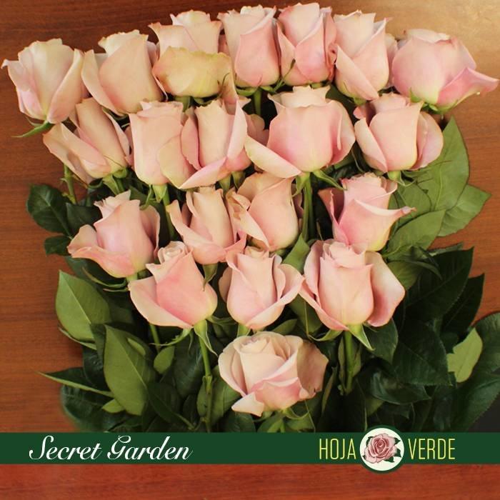 Roos Secret Garden, zacht rose, uit Ecuador