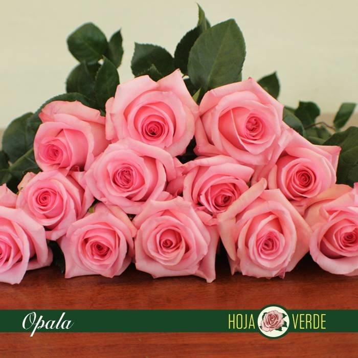 Roos Opala, roze, uit Ecuador