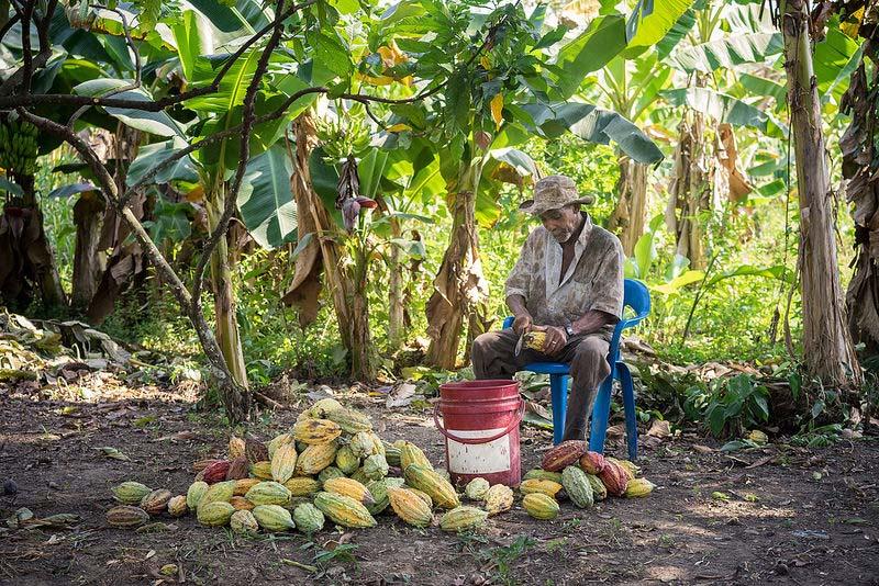 Cacaoboer die cacaovruchten opensnijdt