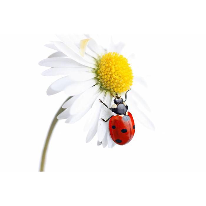 25 volwassen lieveheersbeestjes tegen bladluis binnen