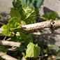 50 Larven tegen wollige dopluis en appelbloedluis