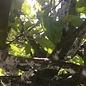 100 Larven tegen wollige dopluis en appelbloedluis