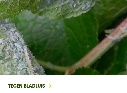 bladluis