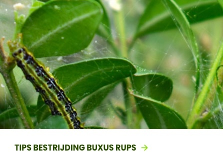 Buxus mot of rups