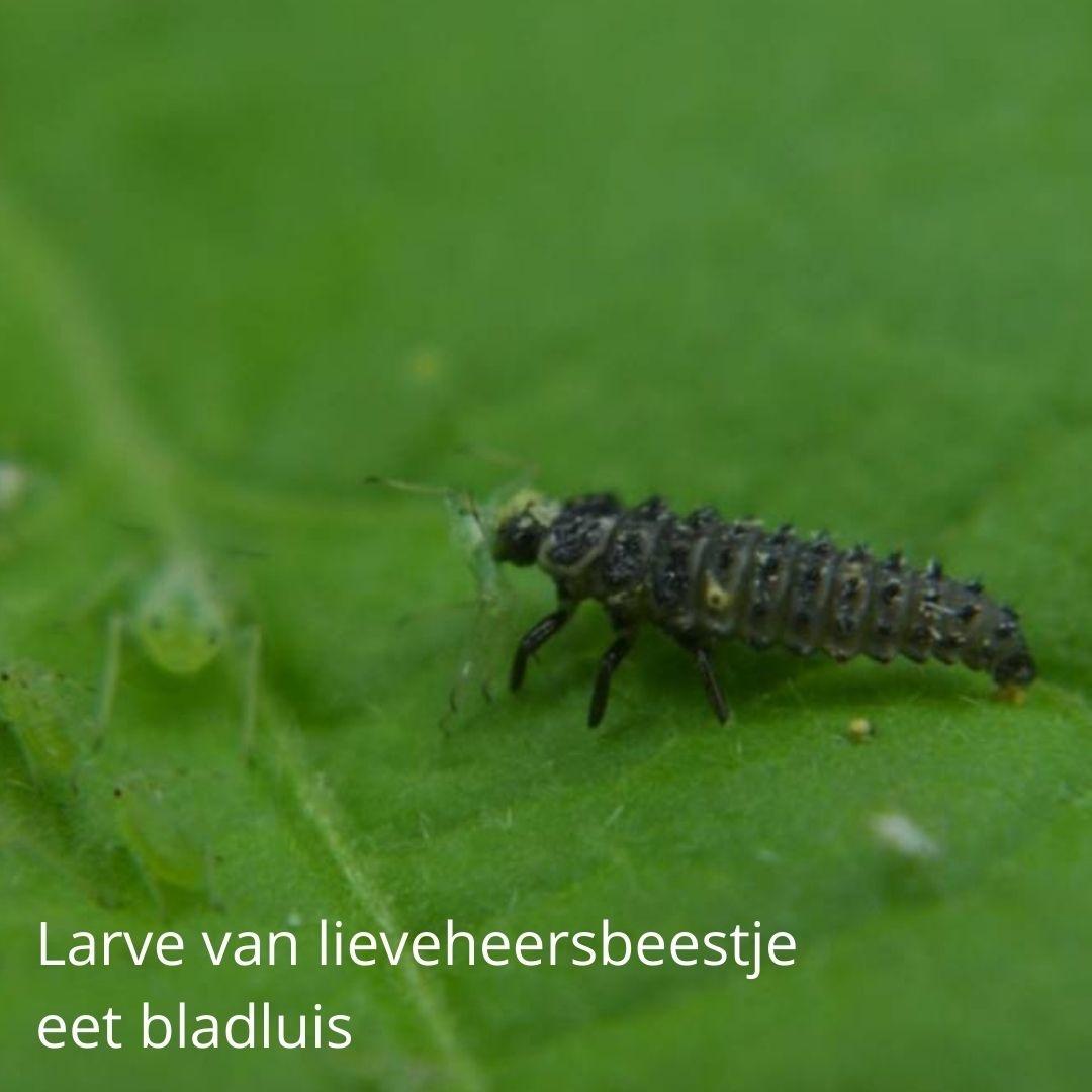 Larve van lieveheersbeestje eet bladluis
