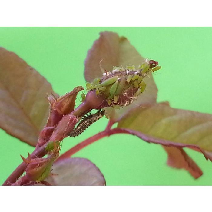 250 Larven van lieveheersbeestje tegen bladluis