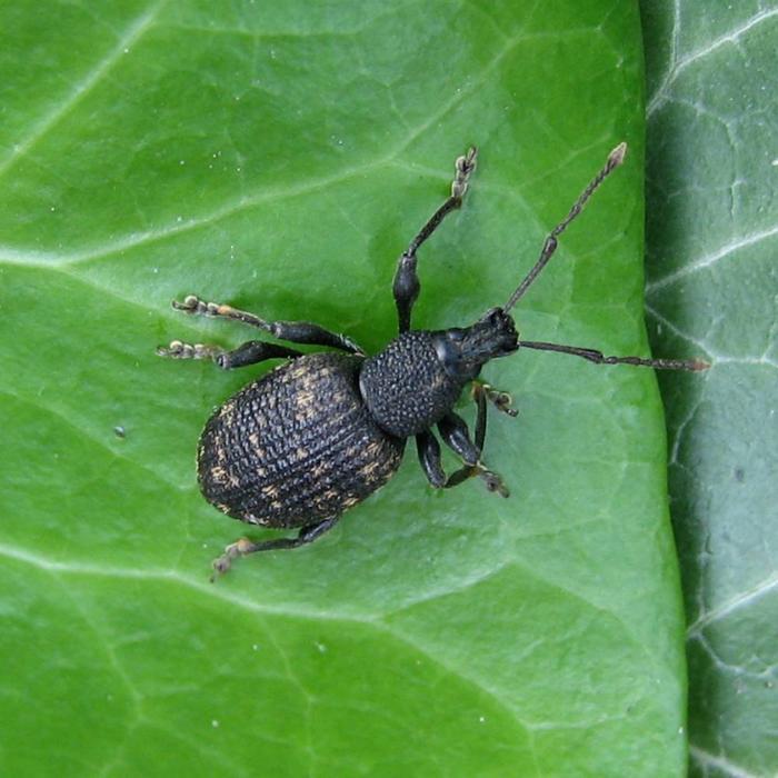 Aaltjes om larven van Taxuskever te bestrijden voor 50m²  Bodemtemperatuur <5ºC.