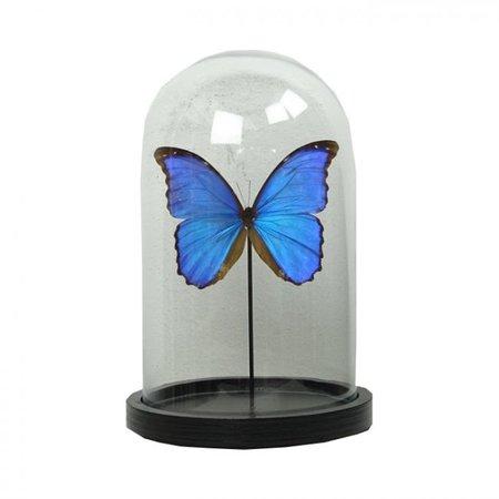 Bell jar with 1 Papilio Morpho Didius