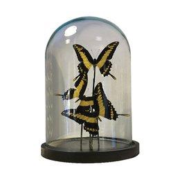 Bell jar with 3 Papilio Thoas