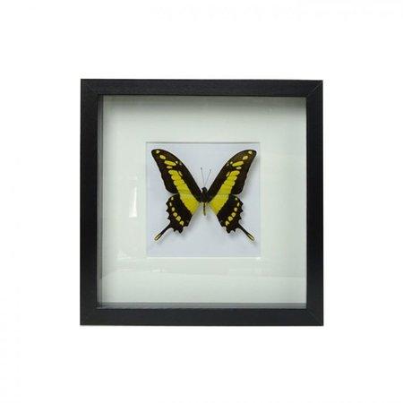 Papilio Thoas in schilderij