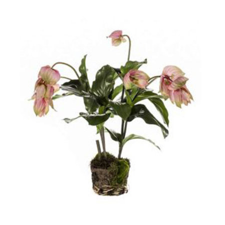 Medinilla Plant with root ball