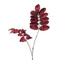 Melianthus tak velvet Bordeaux H95
