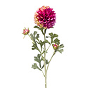 Dahlia Tak Fuchsia H68