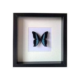Papilio Bromius in schilderij