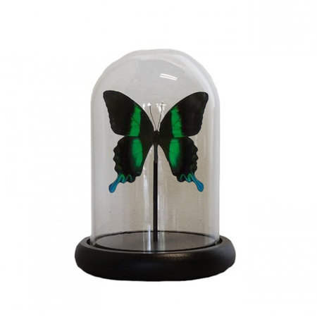 Bell jar with 1 Papilio Blumei
