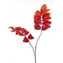 Melianthus tak Oranje H90
