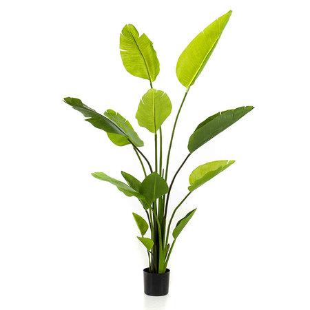 Strelitzia Plant Groen H150