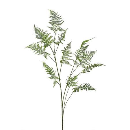 Asparagus branch