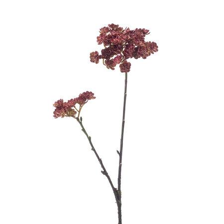 Echeveria branch