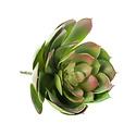 Echeveria Pelusida Green