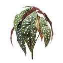 Begonia branch