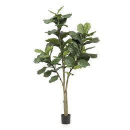 Ficus Lyrata 65 lvs