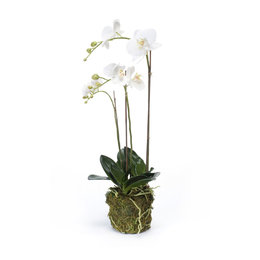 Orchid with root ball