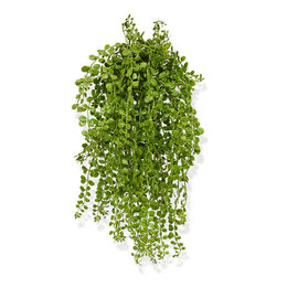 Dischidia Hanging plant UV