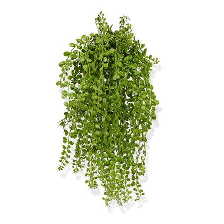 Dischidia Hanging plant UV
